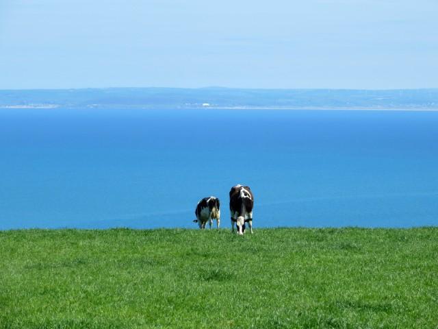 Cows on Hartland walk