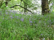 Bluebells in the woodland near Tarr Steps