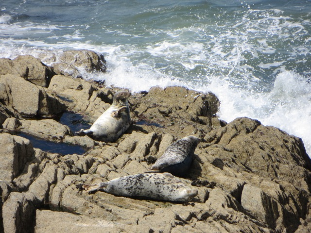 Three seals near Morte Point