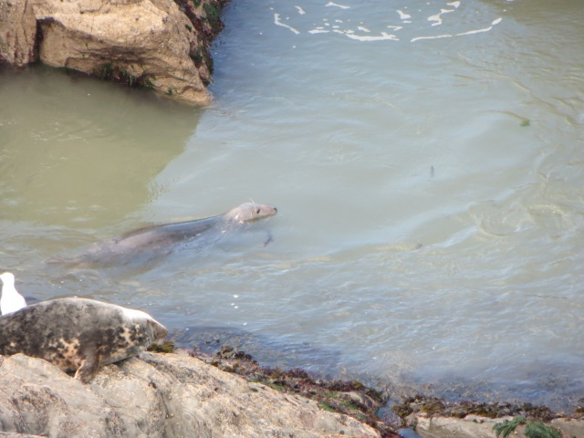 Two seals near Morte Point