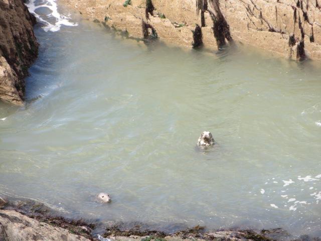 Two wild seals near Morte Point