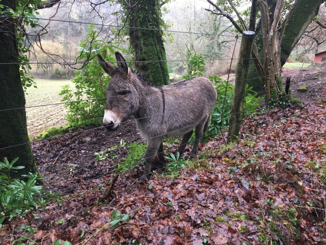 Donkey near Trentishoe Down
