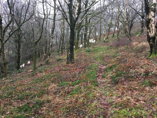 Sheep on path heading up to Trentishoe Down