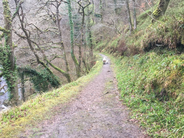 Sheep on the path to Watersmeet House