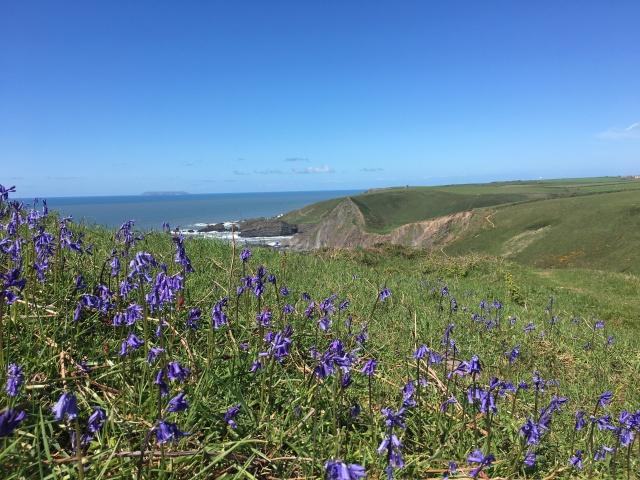 Bluebells on South West Coast Path near Hartland