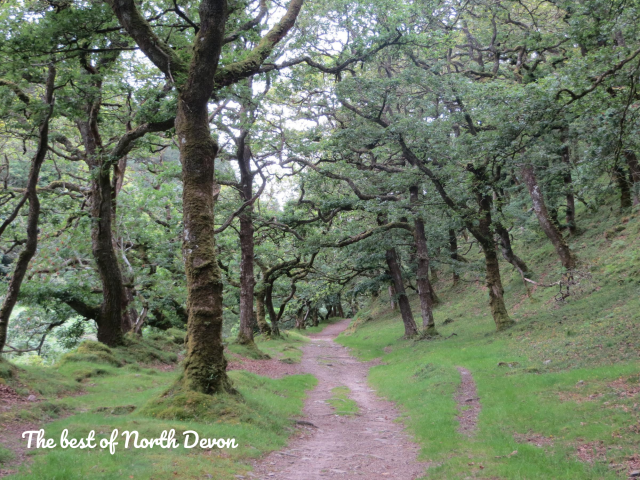 Oak trees in Lorna Doone Valley Exmoor